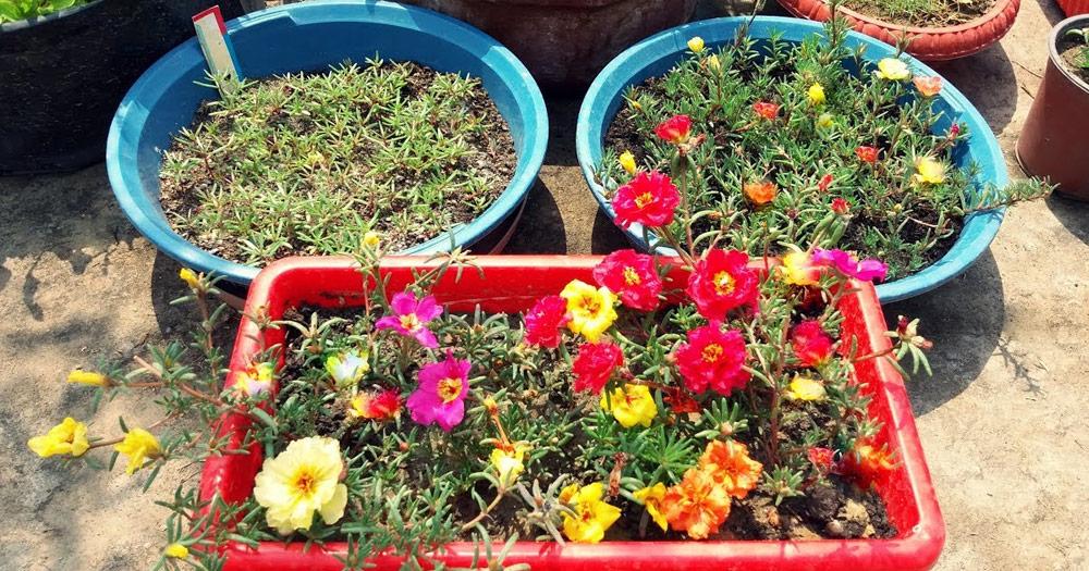 Các phương pháp trồng hoa mười giờ phổ biến nhất