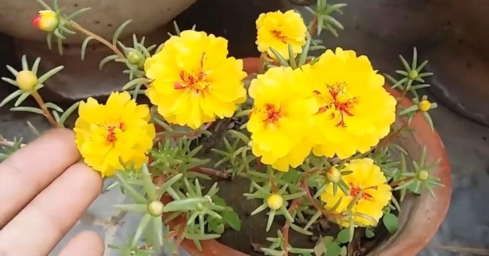 Cách chăm sóc hoa mười giờ đơn giản nhất