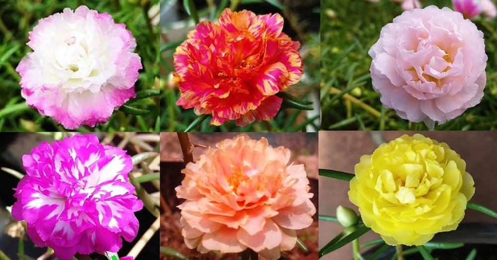 Hoa mười giờ là loài hoa đa sắc