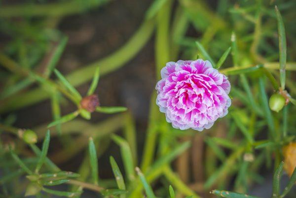 Cách trồng hoa mười giờ đơn giản, dễ thực hiện